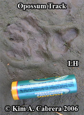 Opossm track. Left hind paw. Photo copyright                       by Kim A. Cabrera 2006.