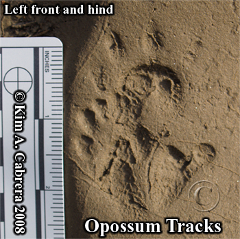 Left front and hind tracks of an opossum.                         Photo copyright by Kim A. Cabrera 2008.