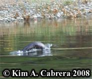 River otter. Photo copyright Kim A. Cabrera                       2008.