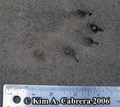 River                       otter track. Photo copyright Kim A. Cabrera 2006.
