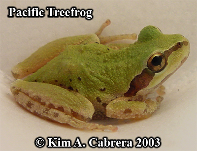 Pacific treefrog being relocated. Photo copyright by Kim A. Cabrera 2003.