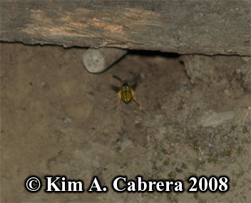 Paper wasp entering underground nest. Photo                     copyright by Kim A. Cabrera 2008.