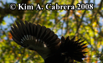 Pileated woodpecker in flight. Photo copyright                     Kim A. Cabrera 2008.