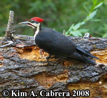 Pileated woodpecker on old log. Photo copyright                     Kim A. Cabrera 2008.