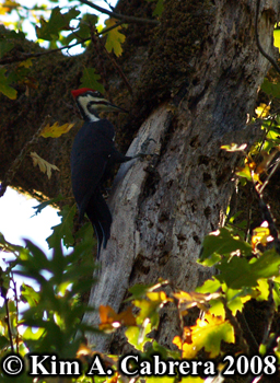 Pileated woodpecker pecking at a tree. Photo                     copyright Kim A. Cabrera 2008.