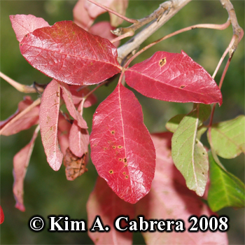 Poison                     oak red leaves at the end of summer. Photo copyright                     by Kim A. Cabrera 2008.