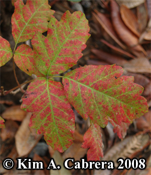 Poison oak leaves turning red at the end of summer. Photo copyright by Kim A. Cabrera 2008.