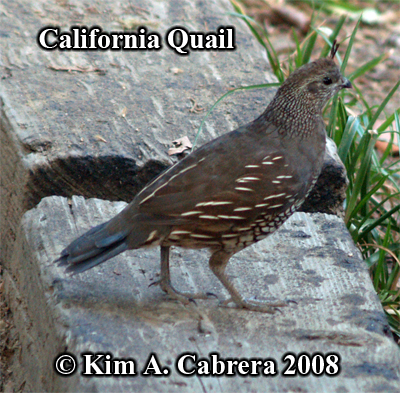 Female California quail. Photo copyright by Kim                     A. Cabrera 2008.