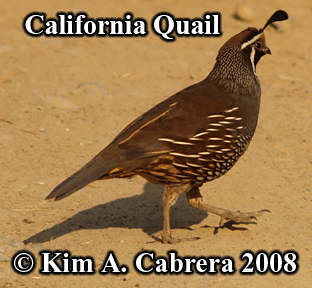 Male California quail. Photo copyright by Kim                     A. Cabrera 2008.