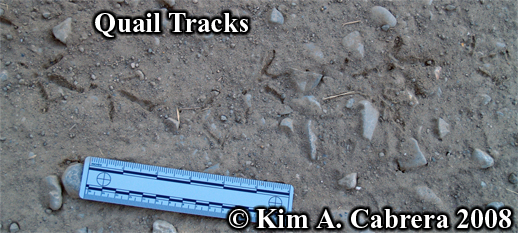 Quail tracks. Photo copyright Kim A. Cabrera                     2008.