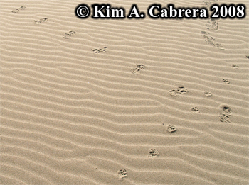 Raccoon and feral cat tracks on a dune. Photo                     copyright Kim A. Cabrera 2008.