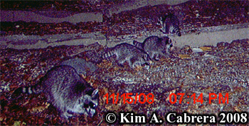 Raccoon family. Photo copyright Kim A. Cabrera 2008.
