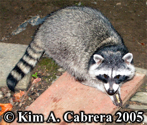 Raccoon with food in her paws. Phoyo copyright                     by Kim A. Cabrera 2005.
