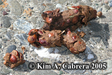 Raccoon scat near a campground. Photo                       copyright by Kim A. Cabrera 2005