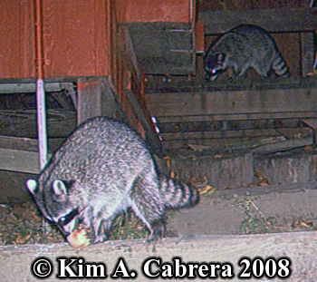 Raccoon photos on trail cam. Photo copyright Kim A. Cabrera 2008.