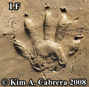 Left front track of a raccoon. Photo copyright                     by Kim A. Cabrera 2008.