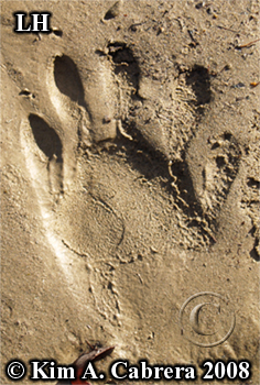 Raccoon track from left hind foot. Photo                       copyright by Kim A. Cabrera 2008.