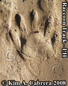 Left                       hind track of a raccoon. Photo copyright by Kim A.                       Cabrera 2008.