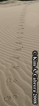 Raccoon                     trail on a sand dune. Photo copyright Kim A. Cabrera                     2008.