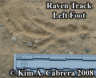 Raven                       track showing appearance of middle toe. Photo                       copyright Kim A. Cabrera 2008.
