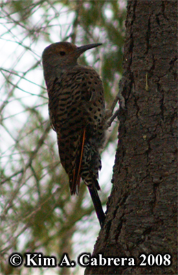 Northern red shafter flicker. Photo copyright Kim A. Cabrera 2008.