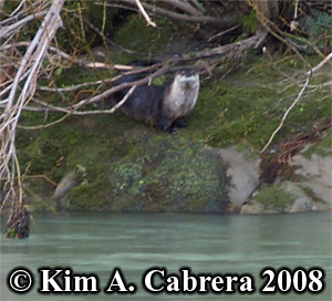 The otter                       watching me approach. Photo Copyright Kim A.                       Cabrera 2008.
