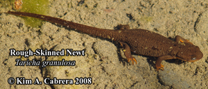 Rough skinned newt underwater in summer. This is the non-breeding form. Photo copyright by Kim A. Cabrera 2086.