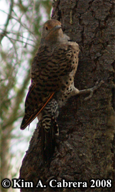 Norther flicker or red shafted flicker. Photo copyright by Kim A. Cabrera 2008.