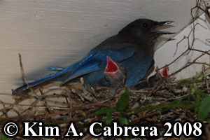 Steller's jay and chicks in nest. Photo                     copyright Kim A. Cabrera 2008.