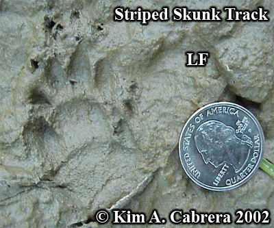 Striped skunk track in mud. Left front paw. Photo copyright by Kim A. Cabrera 2008.