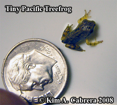 A tiny treefrog with dime for size comparison. Photo copyright by Kim A. Cabrera 2008.