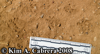 Toad tracks                     in dust. Photo copyright by Kim A. Cabrera 2008.