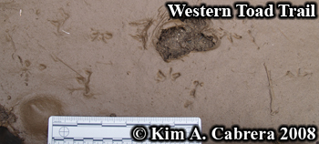 Toad tracks.                     Photo copyright Kim A. Cabrera 2008.