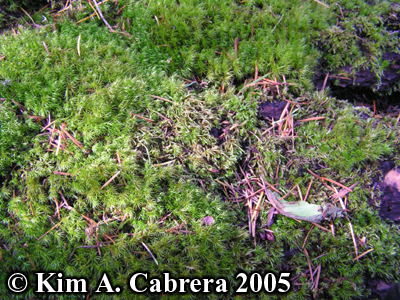 Scuffed moss. Photo copyright by Kim A. Cabrera                 2005.