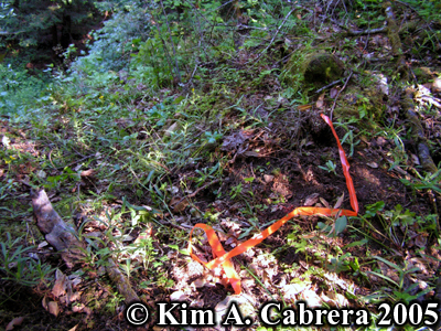 Trail ending point marked with orange tape. Photo                 copyright Kim A. Cabrera 2005.