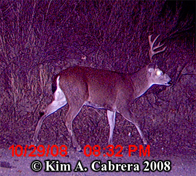 Blactailed deer buck photo on trail cam. Photo copyright Kim A. Cabrera 2008.