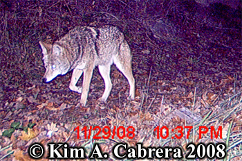 Coyote. Photo copyright Kim A. Cabrera 2008.