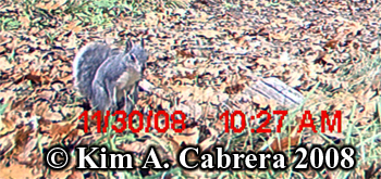 GRay squirrel. Photo copyright Kim A. Cabrera 2008.