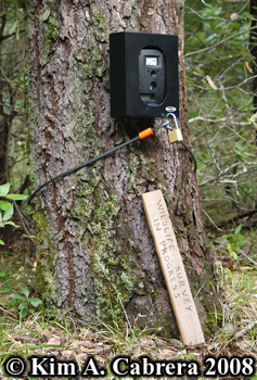 Trail camera set up on tree. Photo copyright Kim A. Cabrera 2008.