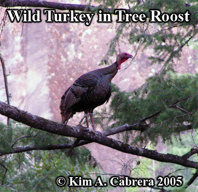 Wild turkey in a tree roost. Photo copyright by Kim A. Cabrera 2005.