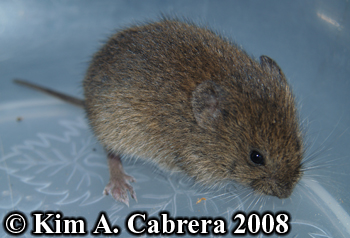 Vole with injured toe.  Photo copyright Kim A. Cabrera 2008.