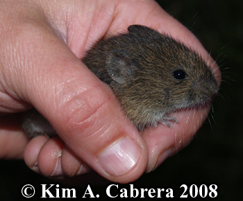 Vole being released.  Photo copyright Kim A. Cabrera 2008.