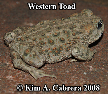 Western toad.                   Bufo boreas. Photo copyright by Kim A. Cabrera 2008.