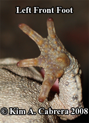 Western toad. Left front foot palm. Photo                     copyright by Kim A. Cabrera 2008.