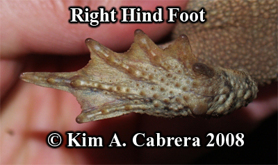 Western toad. Right hind foot. Photo copyright                     by Kim A. Cabrera 2008.