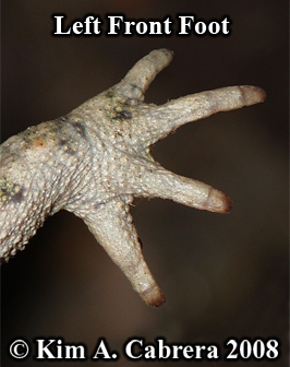 Western                     toad. Back of left front foot. Photo copyright by                     Kim A. Cabrera 2008.