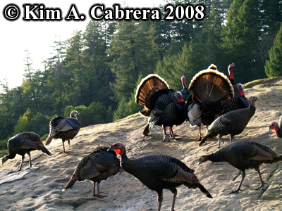 turkey hens and toms on a rock.  Photo copyright by Kim A. Cabrera 2008.
