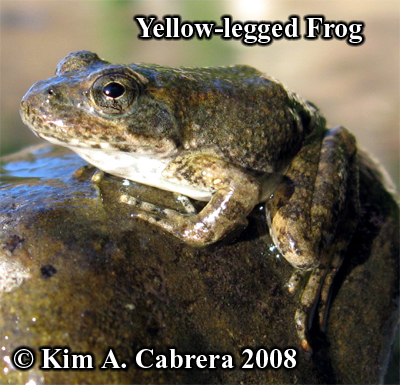 yellow legged frog on the river's edge. Photo                     copyright by Kim A. Cabrera 2008.