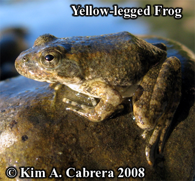 yellow legged frog in the sun. Photo                       copyright by Kim A. Cabrera 2008.