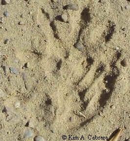 Opossum tracks in sand. Front foot at top and right hind foot on the bottom. The hind print partially covers the front one.